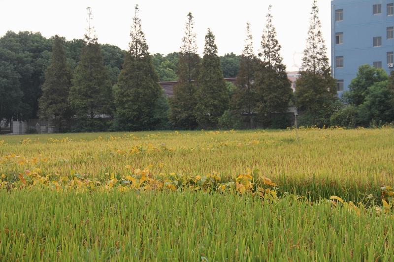 此景观图片为此样稻季蜡熟期景观照