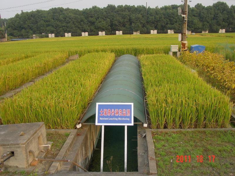 该照片为此样地稻季蜡熟期景观照